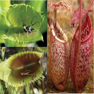 Ciri Khusus Kantong Semar dan Kejora Tumbuhan Pemakan Serangga