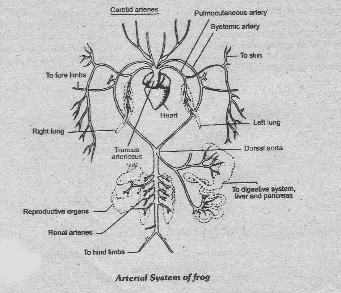 Arterial System Arteries Manual Guide
