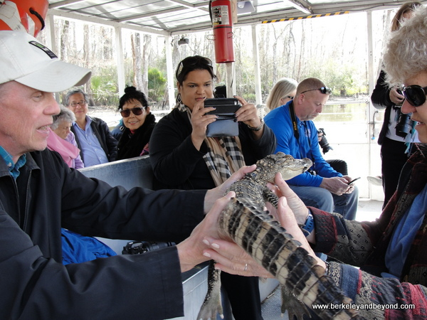 visitors hand off alligator on Cajun Pride Swamp Tour in LaPlace, Louisiana