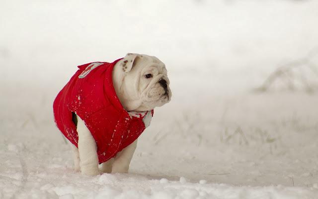 Hond in de sneeuw met jas