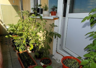 Огород овощей на балконе