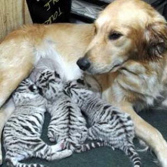 Чужих не бывает животные кормят чужих зверей собака и тигрята