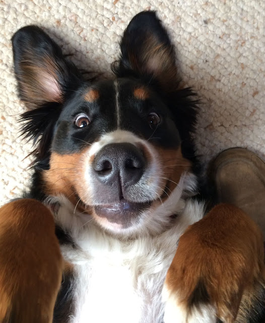 Bernese Mountain Dog making a goofy face while on his back. Biped versus Quadruped