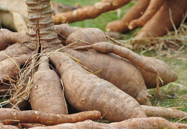 Penelitian Accelerated Ex situ Breeding of GBSS- and PTST1-edited Cassava for Modified Starch