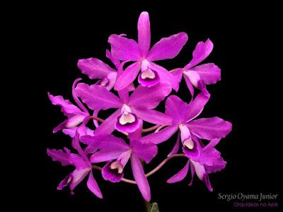 Orquídea Cattleya bowringiana