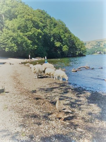 Sheep drinking from the lake
