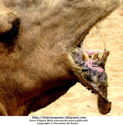 Foto de camello enseñando su dentadura por Jesus Gómez