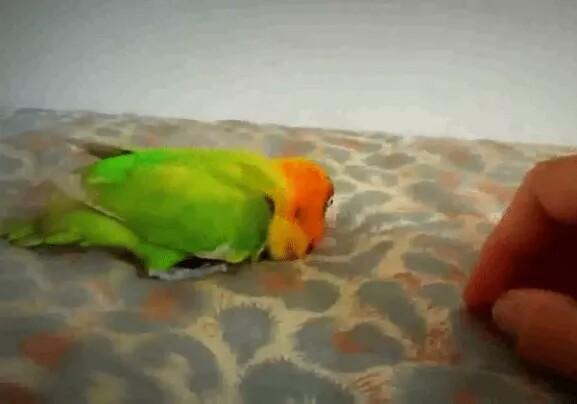 Cara Mengobati Lovebird Lumpuh Atau Stroke Agar Tidak Terjadi Kematian Sukses Perawatan