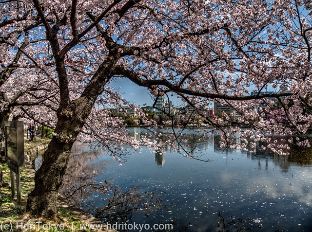 cherry blossoms by a large pond. petals of cherry blossoms float on the water. the pond reflect the blossoms.