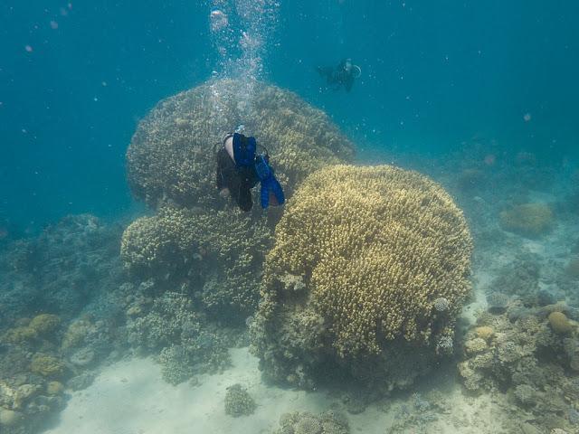 Corales gigantes en el Japanese Garden, Aqaba, mar Rojo, Jordania