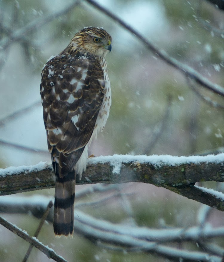 With snowflakes falling all around, this Cooper's Hawk looks beautiful