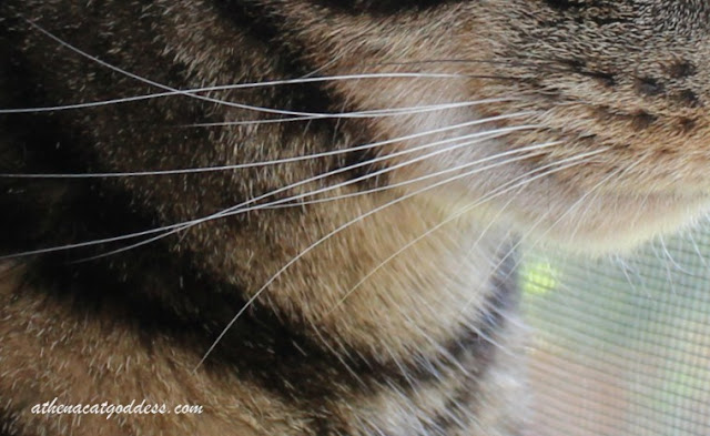 Whiskers Wednesday