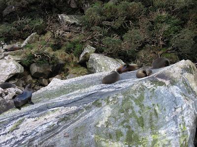 Focas en el fiordo Milford Sound. Parque Nacional Fiordland, Nueva Zelanda