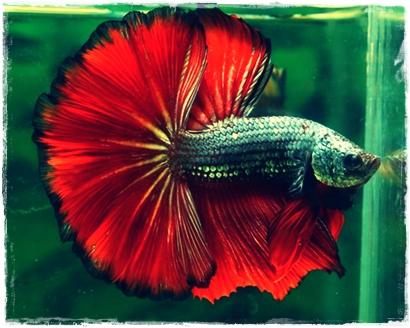 Ciri-ciri ikan cupang