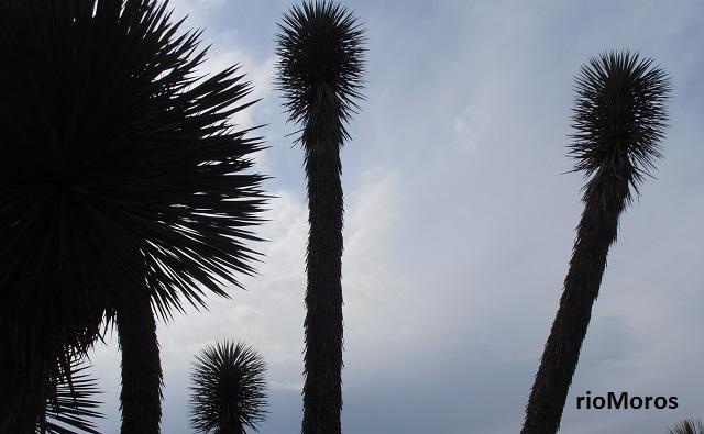 SOYATEo palmita Yucca rostrata