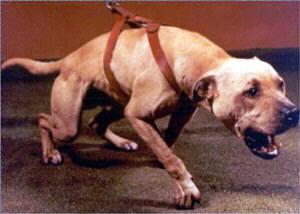 Pit Dog Report: CH (CRENSHAW'S) RODRIGUEZ' GATOR (4XW) ROM