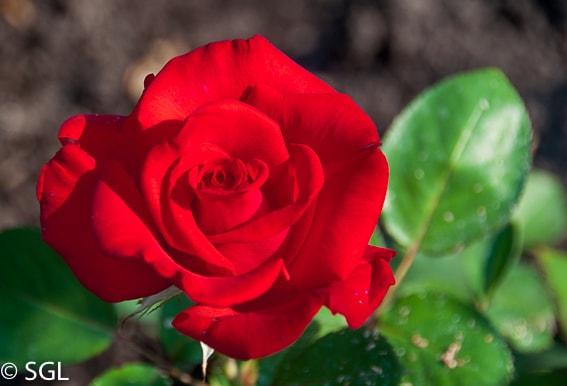 Rosa de los jardines Butchart. Isla Victoria. Canada
