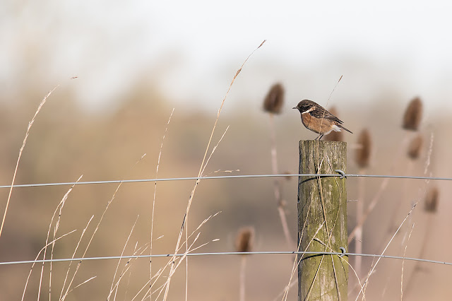 2nd Male Stonechat on the patch
