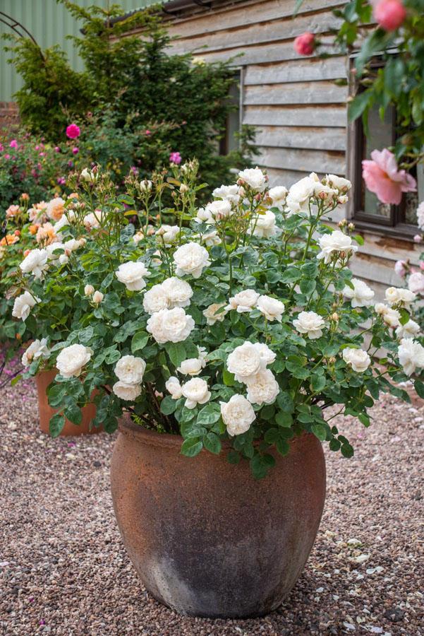 rosal con flores blancas en maceta de barro