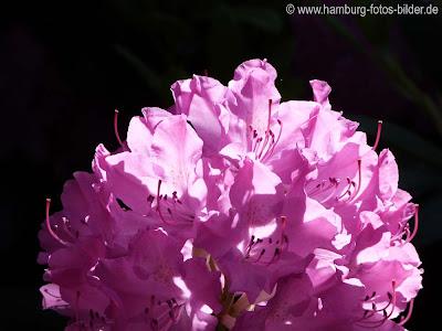 violette Blume mit schwarzem Hintergrund