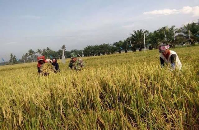 Panas Terik Tak Menjadi Penghalang Babinsa Panen Padi Bersama Petani