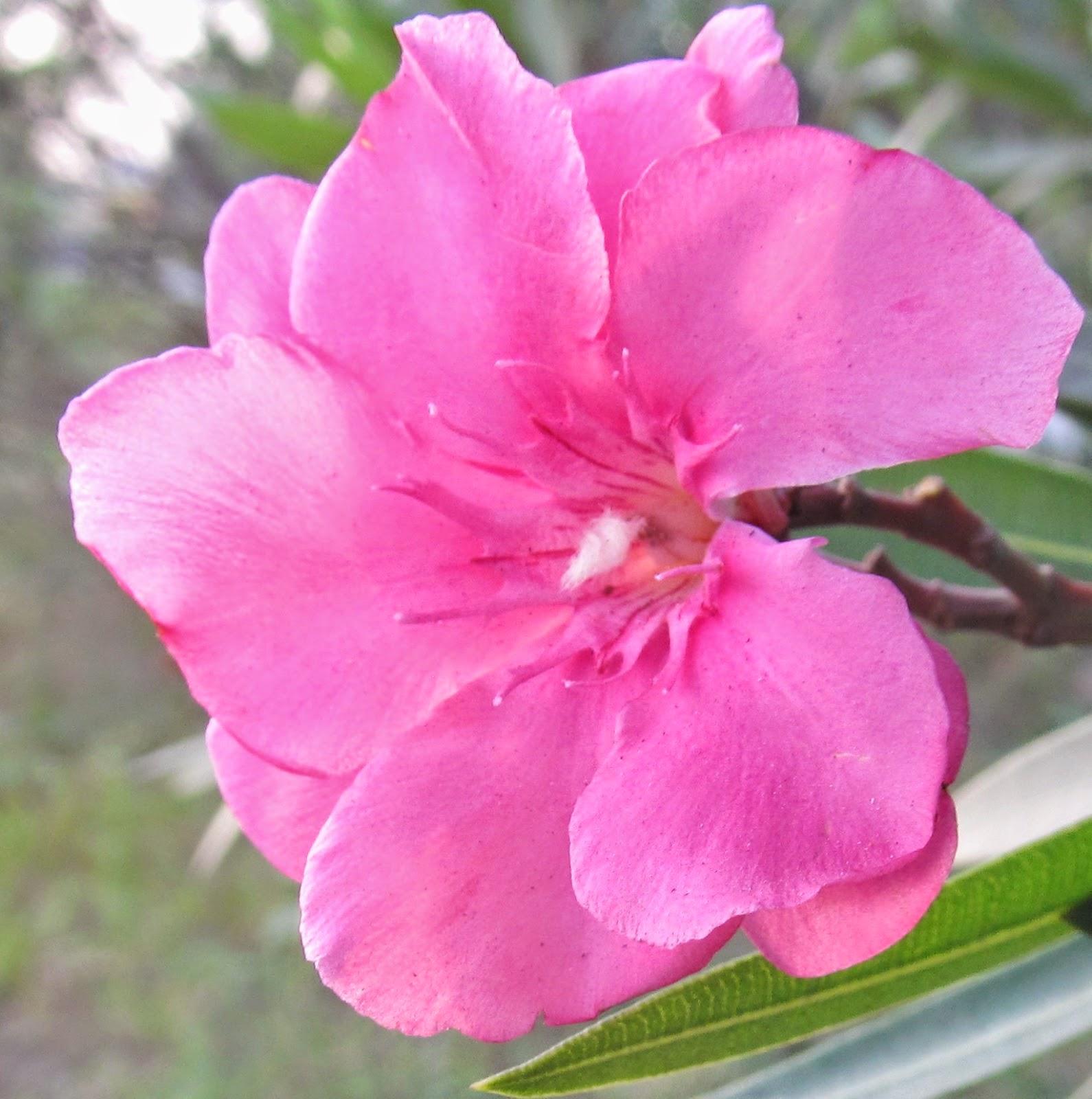 natural unique photography laurier rose flower or karveer flower. Black Bedroom Furniture Sets. Home Design Ideas