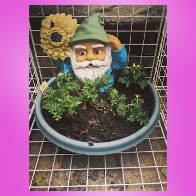 The Garden Gnome overlooks the fairy garden in the patio container garden