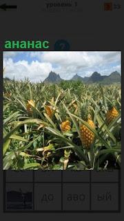 На грядках в поле растут ананасы, уже созрели