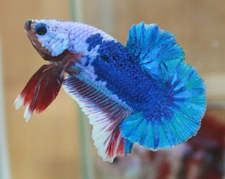 https://www.bimapedia.com/2018/12/jenis-jenis-ikan-cupang-yang-harus-kamu.html