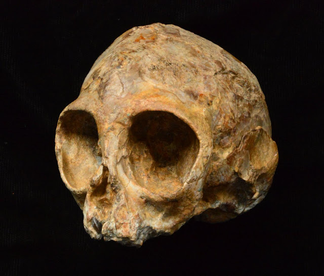 New 13-million-year-old infant skull sheds light on ape ancestry