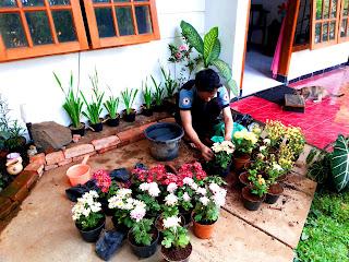 Proses pemilahan batang bunga Krisan