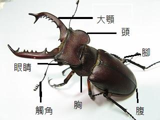 學習: 深山鍬形蟲