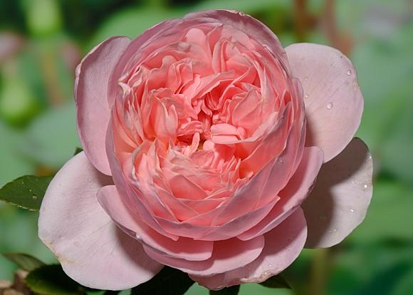 Sonya Rykiel rose сорт розы фото