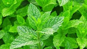 How to treat dry cough with mint leaves