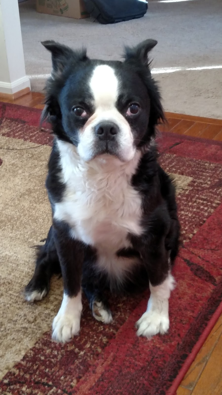 Boston terrier adoption nj - Dentacoin subreddit movies
