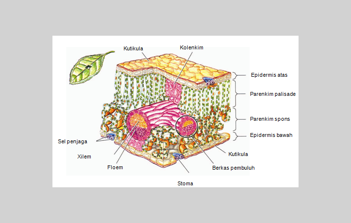 Jaringan tumbuhan pengertian struktur lapisan jenis ilmu dasar struktur jaringan tumbuhan ccuart Images