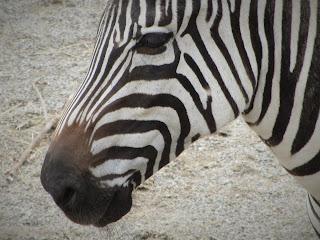 Zebra Dublin Zoo