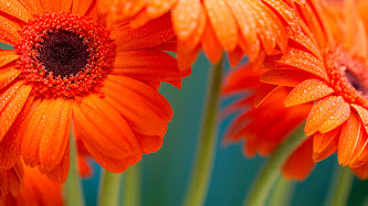 Wallpaper: Gerberas with Drops on Petals