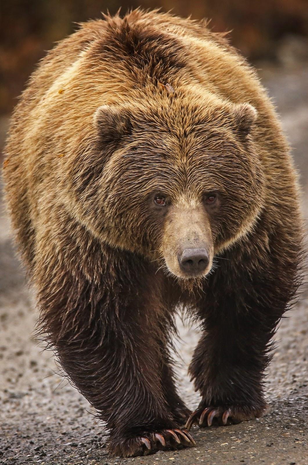 A wet bear with fuzzy hair coat.