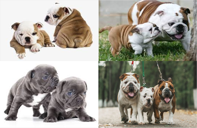 The English Bulldog Breed