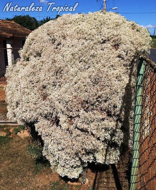 Vista del arbusto de la Pascuita o Pascuilla (Euphorbia leucocephala) en un jardín