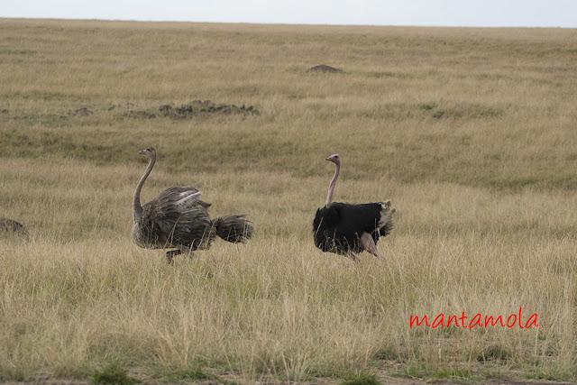 Ostrich, Masai Mara
