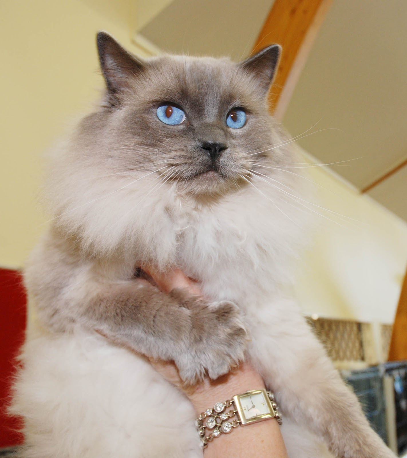 Ragdoll Cute Cats   Cute Cats