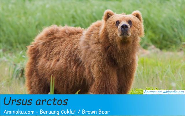 Fakta unik beruang coklat