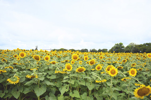 batey farms field of sunflowers
