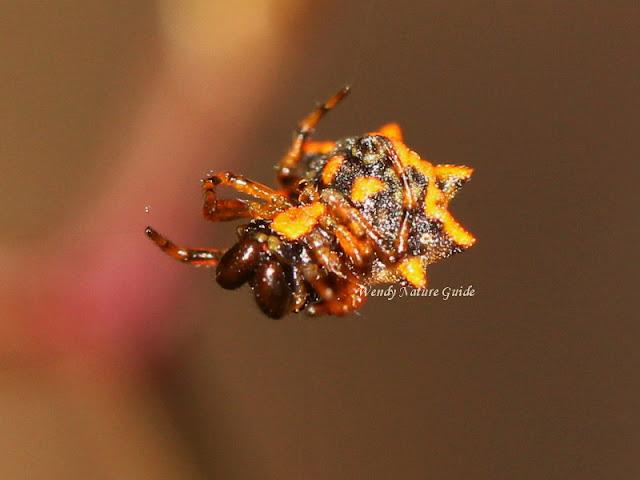 langkawi spiny orb weaver spider tours
