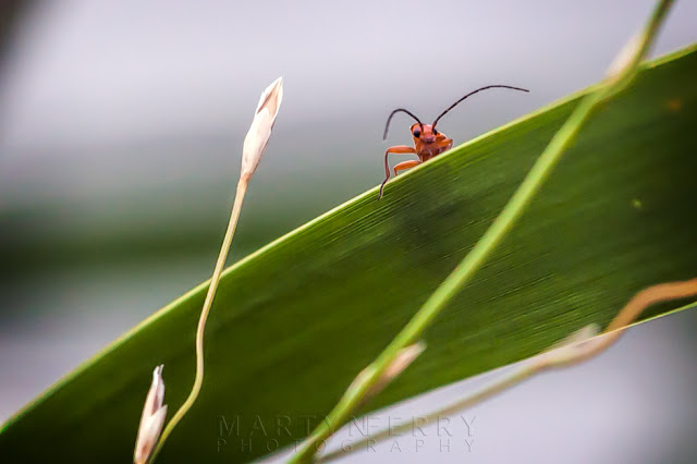 Macro image of a soldier beetle looking over the edge of a leaf