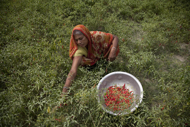 Chilli farmer in Bangladesh