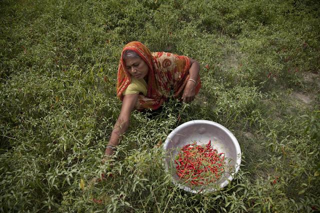 Chilli farmer in Bangladesh