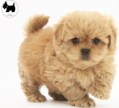 Cutest Dog Breeds, Best Dog, Peekapoo Dog puppies
